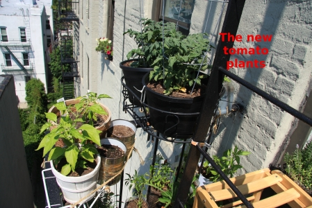 tomato plants clamped to fire escape ladder